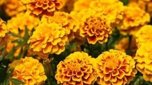 Lutein Free Oil up to 20% from Marigold