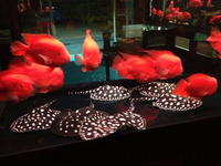 Fresh Water Stingray Fish / Flowerhorn Fish / Asian Red Arowana Fish