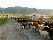 Live sheep for sale, livestock