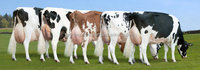 High Quality Live Dairy Cows / Pregnant Holstein Heifers /100% Full Blood Boer Goats