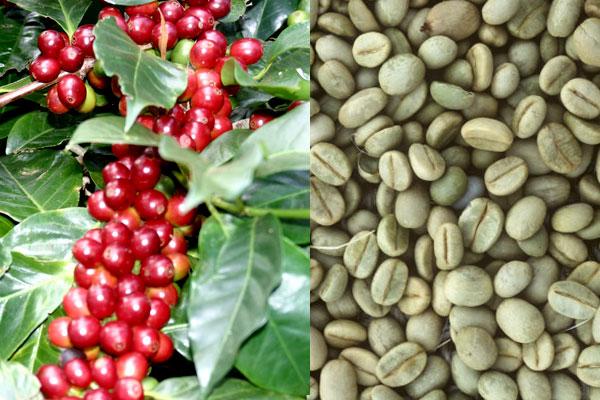 Vietnam Robusta Coffee Beans 2015 Crop Round Shape