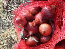 GRADE A fresh organic red onion