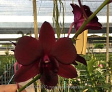 DENDROBIUM BLACK RED