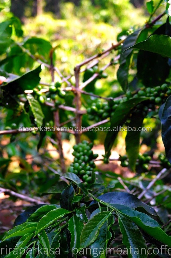 Robusta Coffee Beans on Sale