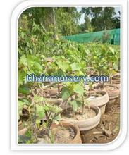 Flame seedless Grape Plants Nursery