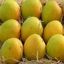 Ratnagiri/Devgad Premium A+ Alphonso Mangoes (Pack of 12) from India