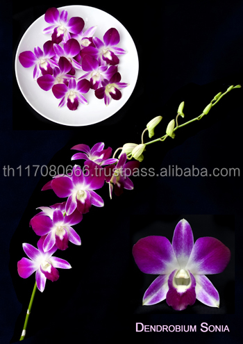 Best Seller From Thailand Dendrobium Pink Orchid Flower
