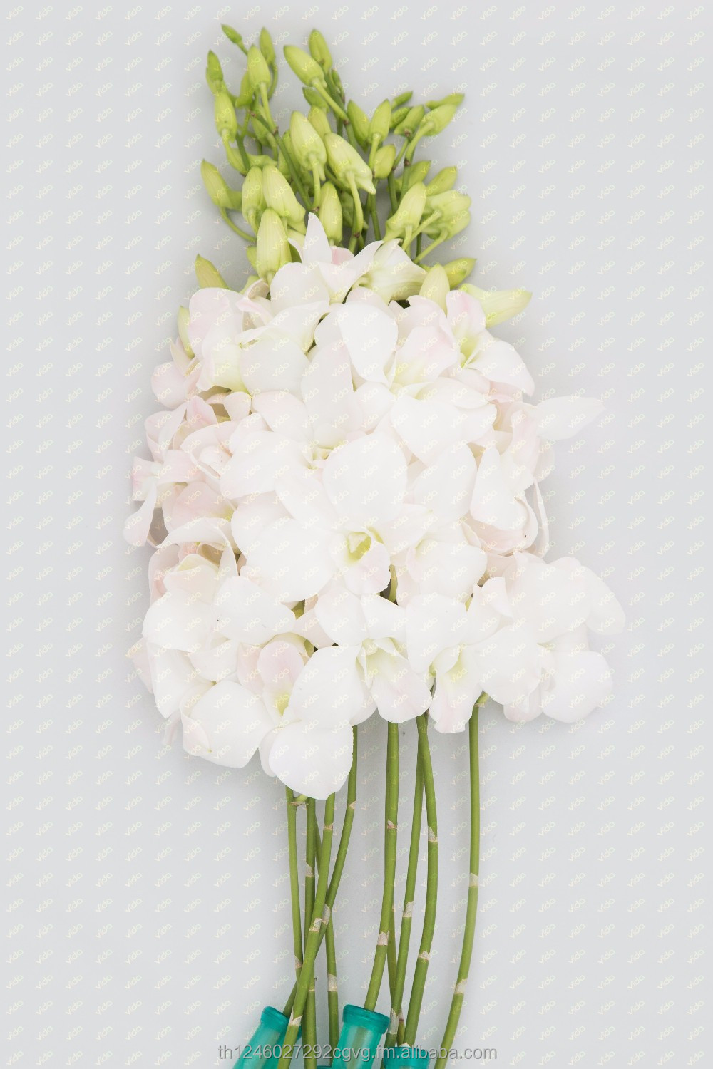 Fresh Cut Orchid / White Dendrobium