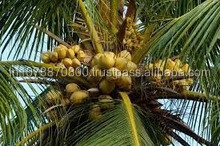 Best Quality Coconut suppliers to Sri Lanka