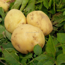 Fresh white long holland potato exporter prices in Vietnam-Gvaco