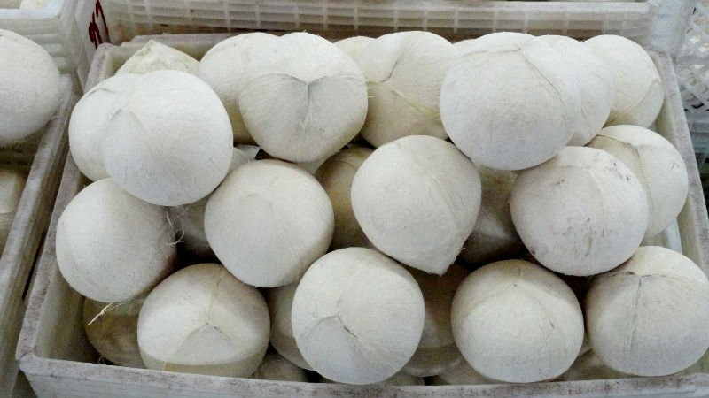 Fresh young coconut with or without shell for sale