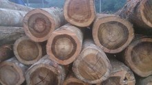 TAN HA wood logs best cheap for sale