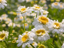 Roman Chamomile Essential Oil Anthemis Nobilis Essential Oil