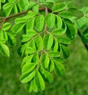 Superior Quality Moringa Dried Leaves At Your Door Steps