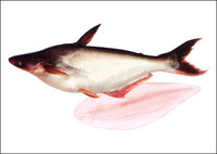 available day to day Pangasius fish (Basa, Tra)