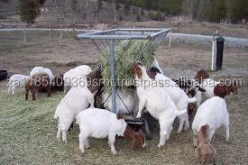 Live Dairy Cows and Pregnant Holstein Heifers Cow/Boer Goats, Live Sheep, Cattle, Lambs