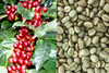 Robusta Coffee Beans, Arabica Coffee beans, green coffee beans roasted and unroasted coffee beans organic robusta and arabica