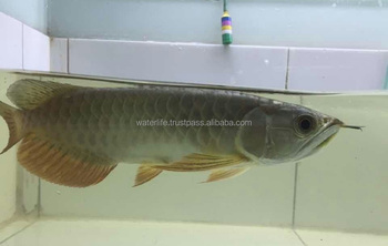 Blue Base Golden Head Fish Exporter