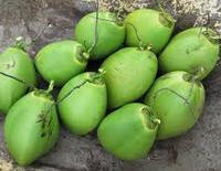 Fresh Young Coconuts