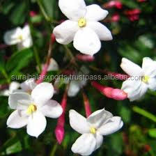 100 % pure natural Jasmine-Grandiflorum Attar