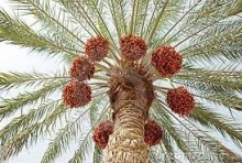 dates tunisia