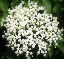 white lilac flower dried grated