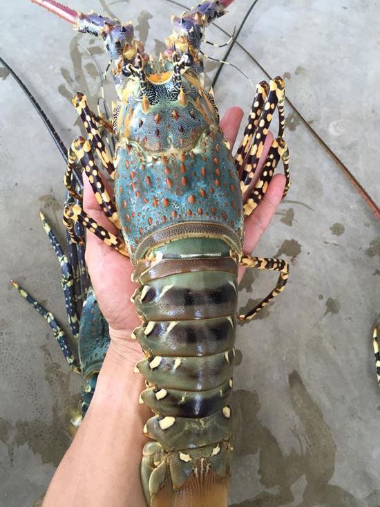 Vietnam Alive Lobster