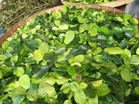 Dried Kaffir Lime Leaves - Citrus hystrix