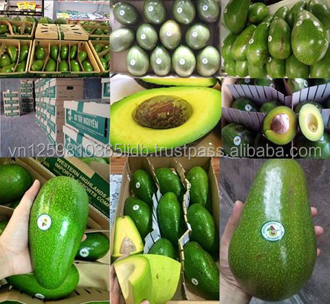 Hot selling Fresh Avocado - best price, high quality