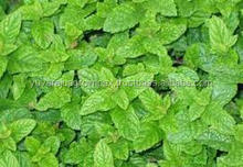 Mint Leaves/Pudhina Exporters In India/Tamil Nadu/Bangalore