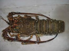 High Quality Frozen Lobster All Sizes