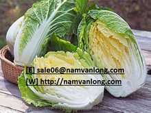 HIGH QUALITY FRESH CELERY CABBAGE ( NAPA CABBAGE) WITH BEST PRICE