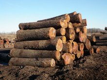 Walnut Wood Logs /Black Walnuts Wood Logs / Timber