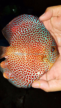 High Quality Discus Fish Malaysia