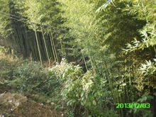 forest Bamboo poles