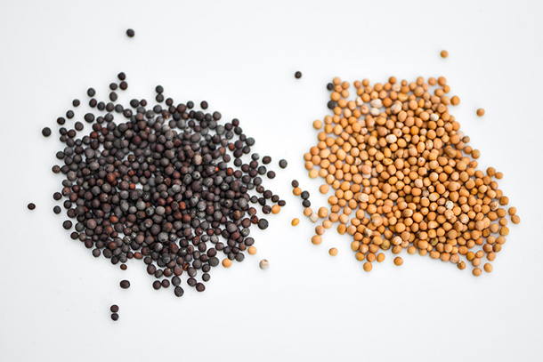 Yellow and White Mustard Seeds