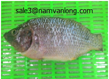 Black Tilapia gutted, scaled, gilled