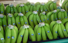 FRESH BANANA / GREEN BANANA / CAVENDISH BANANA HIGH QUALITY FROM ECUADOR