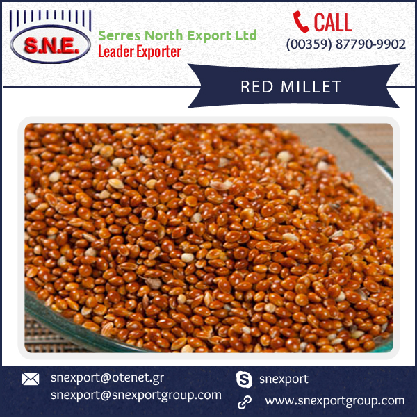 Farm Grade Red Millet Available at Best Selling Rate