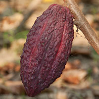 Forastero cacao/cocoa beans/nibs/seeds,directly from farm low price