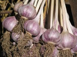 fresh red 0r purple garlic