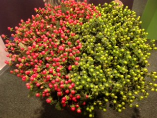 FRESH CUT FLOWERS OF ETHIOPIA Hypericum
