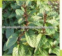 Spearmint Essential Oil - Benefits of headaches, migraines, nervous strain, fatigue and stress.