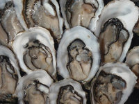 Pacific Oysters Live