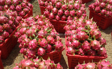 Special dragon fruit for customers on market