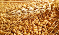 Non-GMO Soft Milling Wheat for Human Consumption