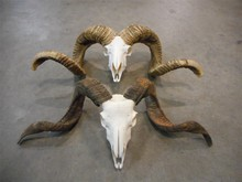 Real ram skull - Taxidermy quality