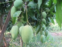 Viet Nam Fresh Cat Chu Mango fruit