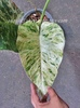"PHILODENDRON VARIEGATED ""ELEPHANT EAR"""