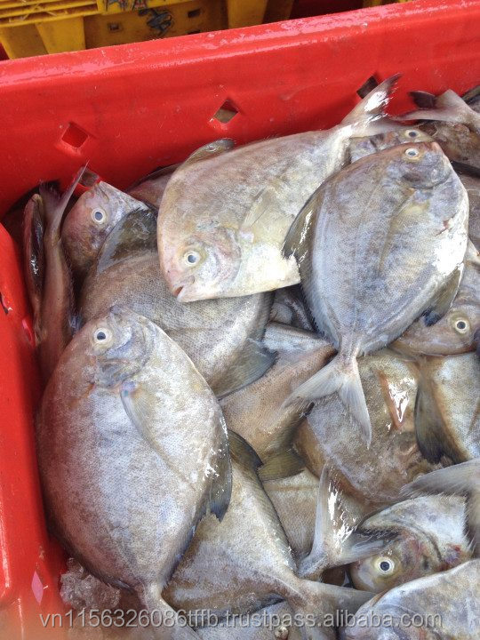packing frozen seafood black pomfret fish size in 300-500g